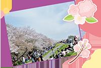 桜の名所を駆け抜ける